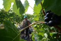 Romanian hand pickers harvesting grapes at Lacerta winery in Dealu Mare,100km northeast from Bucharest. Photo: AFP
