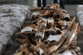 Illegal ivory tusks seized in Hong Kong. Photo: AFP