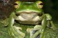 Helen's Flying Frog is a new species found in Vietnam.