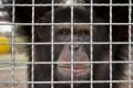 A chimp at a research centre in Louisiana. Photo: NYT