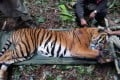 A Malaysian tiger being treated for injuries. Photo: AFP