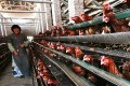 A chicken farm in Zouping, in east China's Shandong province. Photo: AFP