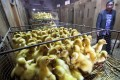 A poultry egg trading market in Wuzhen, Zhejiang province. Photo: Reuters