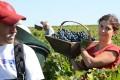 Workers harvest Cabernet-Sauvignon grapes near Bordeaux. Photo: EPA