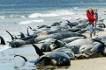 Whales and dolphins beached in Tasmania. Photo: Reuters