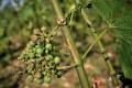 Hail-damaged grapes near the village of Pommard.Photo: AFP
