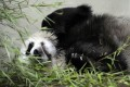 Tian Tian ('sweetie') the female Giant Panda at Edinburgh Zoo relaxes in her compound. Photo: AFP