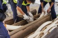 Hong Kong Customs officers seize large illegal shipment of ivory from Nigeria to China. Photo: EPA