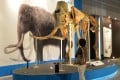 A woolly mammoth specimen on display in Japan. Photo: AFP