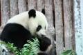 """Giant panda """"Lin Bing"""" enjoys its meal at the Chiang Mai Zoo in Chiang Mai, Thailand. Photo: Xinhua"""