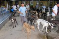 Greyhounds are exercised in Macau. Photo: Red Door News