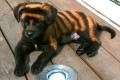 Tiny black pup Tiger at just five weeks old, painted with bleach to make him look cute. Photo: Handout