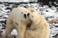 Polar bears play on the shores of Hudson Bay. Photo: AP
