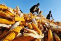 Farmers dry the harvested corn at a grain depot in Heilongjiang Province. Photo: Xinhua