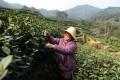 A farmer picking up tea in the Longjing Village of Hangzhou, Zhejiang. Photo: Xinhua