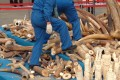 A worker walking on a pile of elephant tusks of confiscated ivory prior to crushing by Chinese customs officials in Dongguan, Guangdong. Photo: EPA