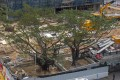 The two banyan trees in their new location after being transplanted. Photo: The Conservancy Association