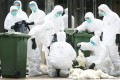 A bird flu cull in Hong Kong. China now has 100 confirmed cases. Photo: Felix Wong