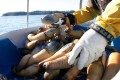 These geoducks will be immediately flown to Asia. Photo: AFP