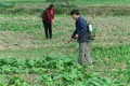 Two peasants apply pesticide to their vegetables in the field.