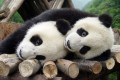 Giant pandas playing at the Giant Panda Protection and Research Centre in Sichuan province. Photo: Reuters