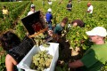 Workers collect white grapes in the vineyards of the famed Chateau Haut Brion, a Premier Grand Cru des Graves, during the grape harvest in Pessac-Leognan, near Bordeaux, southwestern France, Tuesday, Sept. 4, 2012. Photo: AP