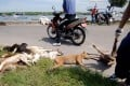 Health department officials remove the carcasses of stray dogs culled in a sweep against rabies in Bali.