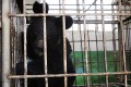 Bear bile is still being used in traditional Chinese medicine to treat a wide range of ailments, despite the availability of synthetic substitutes.