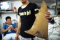 A young worker holding a dried shark fin at a shop in Shantou, Guangdong province in August. Photo: AFP