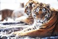 Siberian tigers rest at a tiger Park in Harbin, Heilongjiang. Tigers are considered an endangered species. Photo: AFP