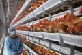 Bird flu has, unfortunately, returned to Hong Kong, just four months after live chicken sales resumed.  Photo: Sam Tsang