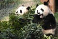 Good news for giant pandas: scientists from Kunming in Yunnan province believe they have identified a genetic trigger for bamboo flowering. Photo: Xinhua
