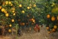 An orange orchard featured in an advertisement by Nongfu Spring, one of the mainland firms to diversify into the agricultural sector. Photo: SMP