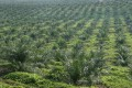 Palm oil producers will be allowed to raise capital through debt issues. Photo: Bloomberg