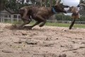 A greyhound chases a live possum during race training. Photo: AFP