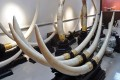 Beijing urged to end trade in ivory