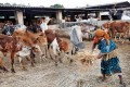 A woman feeds rescued cattle at a VHP shelter. Photo: Reuters