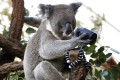 A total of 686 koalas were found to be in poor health and were humanely put down by veterinarians in consultation with koala experts and animal welfare personnel. Photo: Reuters