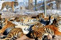 Up to 27 Siberian tigers are now living in the wild in China's Jilin province. Photo: AFP