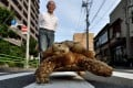 Bon-chan, a 19 year old male African spurred tortoise weighing about 70kg, eats pieces of cabbage while out walking with his owner Hisao Mitani in Tokyo. Photo: AFP