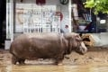 A hippopotamus stands in the mud in front of a Swatch watch kiosk after it escaped from a flooded zoo in Tbilisi, Georgia. Photo: AP