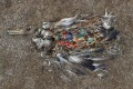 The remains of an albatross chick, filled with pieces of plastic, photographed on Midway Island by Chris Jordan, who has extensively documented the phenomenon (see http://www.chrisjordan.com/gallery/midway/#CF000478%2019x25 ). Photo: Chris Jordan