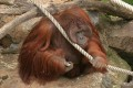 "The killing of male orangutan Nieas had left employees of Duisburg Zoo in a ""state of shock"", the zoo said. Photo: Duisburg Zoo"