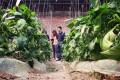 An organic farm in Tianjin. Photo: Simon Song