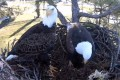 Ozzie stands watch, while Harriet tidies up their nest in this webcam scene from last year. Photo: YouTube