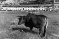 A cow in a field outside the Tsang Tai Uk walled village, in Sha Tin, in 1981. Photo: SCMP