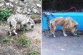 Photos of a thin tiger and lion at Beijing Zoo have caused a stir online,  but zoo officials insist the animals suffer from genetic defects, not neglect. Photos: Beijing Times