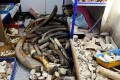 Some of the ivory confiscated by Chinese police following a raid on a factory in Fujian province. Photo: Xinhua