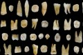 Forty-seven human teeth found in the Fuyan Cave in Hunan Province in China. Photo: Reuters