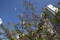 A picture shows a blossoming Bauhinia tree in a housing estate in Hong Kong, China as secondary home sales in China perked up. Photo: EPA